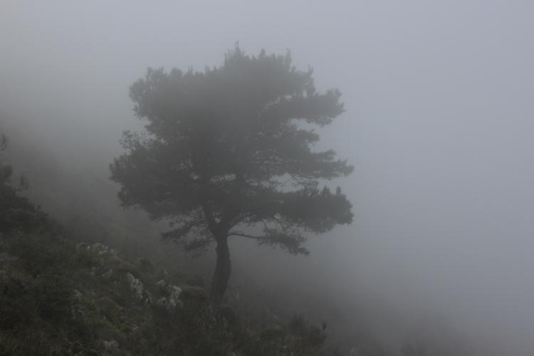 capri tree